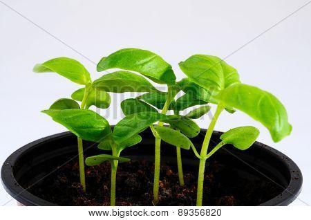 Basil seedlings.