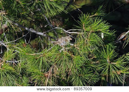 Baby sparrow in pine tree.