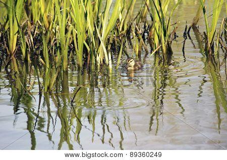 Duckling between reed leaves
