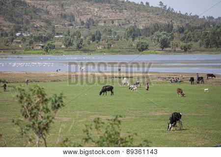 DIRE DAWA, ETHIOPIA - APRIL 17, 2015: Unidentified farmers guard livestock on pasture on April 17, 2015 in Dire Dawa, Ethiopia.