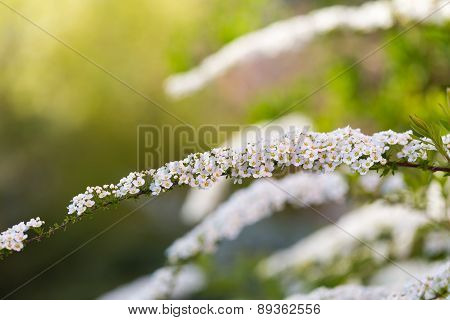 White Spirea Blooming In Beautiful Hedge