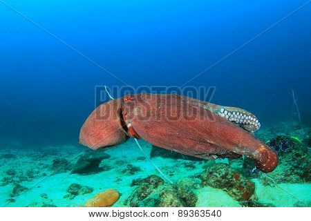 Big Red Reef Octopus