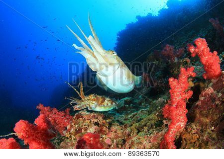 Pair Pharaoh Cuttlefish on coral reef