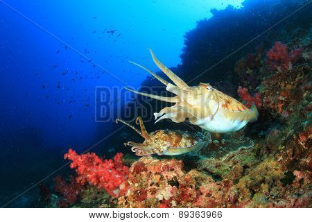 Pair Pharaoh Cuttlefish mating on coral reef