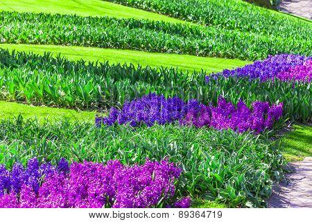 sunny floral spring in beautiful park Keukenhof . Holland
