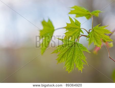 Leaf Of Mapple.green Leave Of Maple On Green Blured Background..