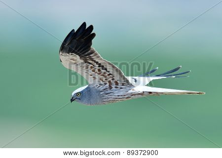 hen harrier (Circus cyaneus)  flying