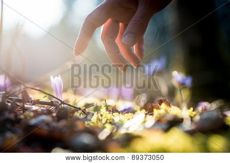 Hand Of A Man Above A New Delicate Blue Flowers In A Shaft Of Sunlight