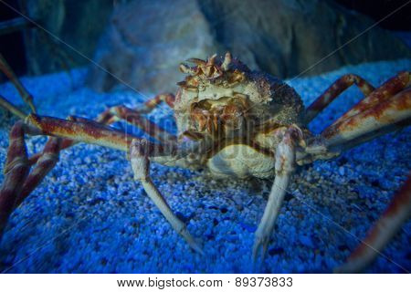 Big crab in a tank looking at camera at the aquarium