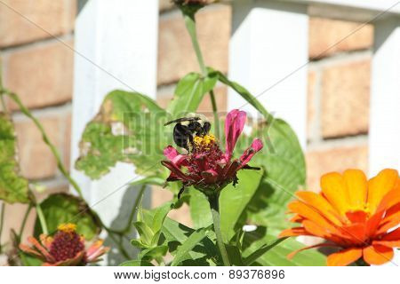 Bumble Bee on Zinnia Flower