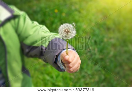 Dandelion in child hand. Green bokeh and soft daylight.