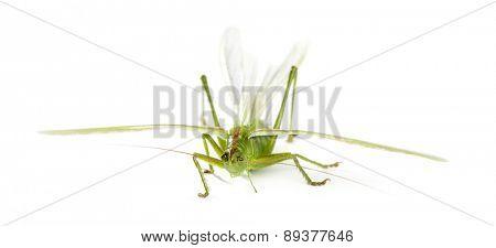 Female Great Green Bush-Cricket, Ettigonia viridissima in front of a white background