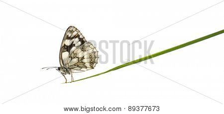 Marbled white, Melanargia galathea, on a blade of grass in front of a white background