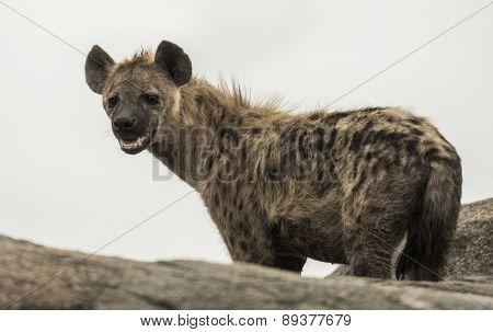 hyena standing on rock, Serengeti, Tanzania, Africa