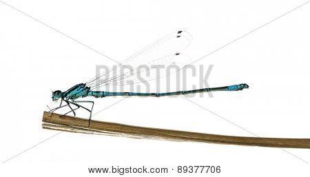 Azure damselfly, Coenagrion puella, on a straw in front of a white background