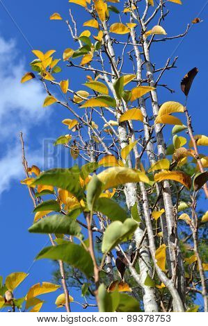 Pear tree from below against bright blue sky