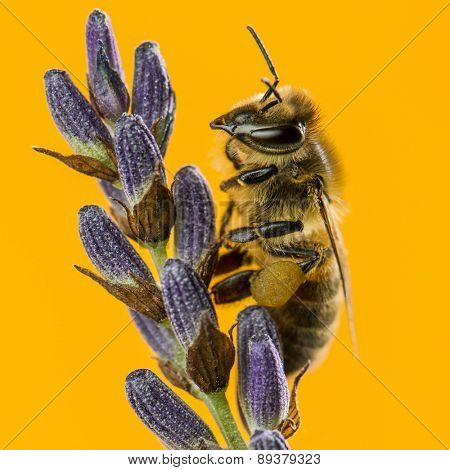 Honey bee foraging on a lavander in front of an orange background