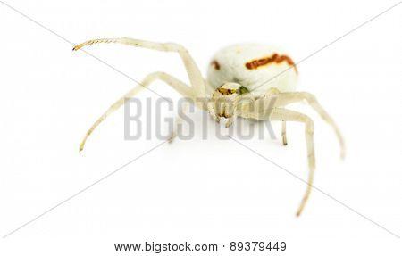 Golden Crab Spider, Misumena vatia in front of a white background