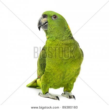 yellow-naped amazon, Amazona auropalliata in front of a white background
