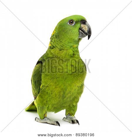 yellow-naped amazon, Amazona auropalliata, in front of a white background