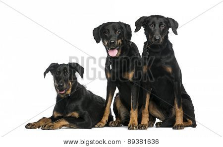 Three Beaucerons sitting and lying in front of a white background