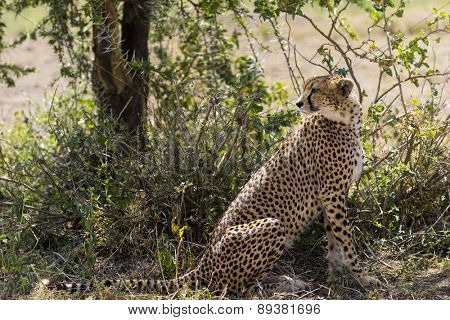 Cheetah sitting under a tree, Serengeti, Tanzania, Africa
