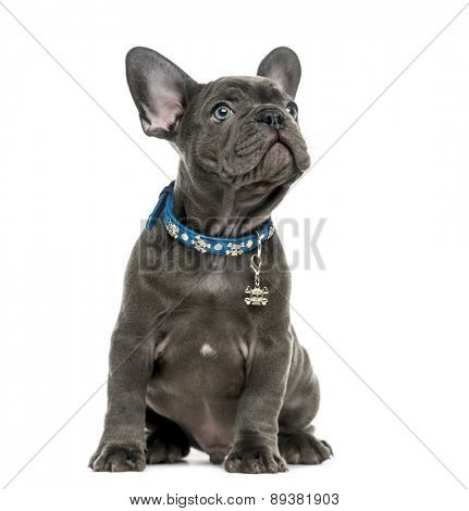 French Bulldog (2 months old) in front of a white background