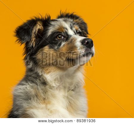 Australian Shepherd (3,5 months old) in front of an orange background