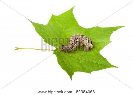 Pest And Leaf