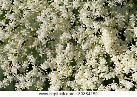 Elderflowers Background