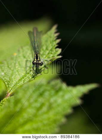 Damselfly Portrait On Nettle Leaf