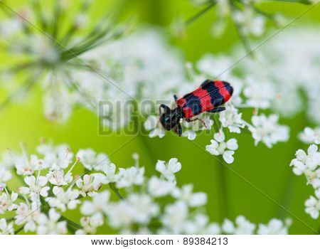 Red And Black Beetle On White Blossom