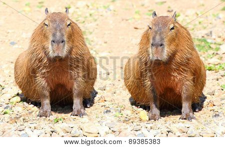 Couple of The Capybara  (Hydrochoerus hydrochaeris ), largest rodent in the world.