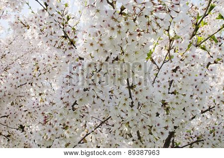 Spring blooming flowers background