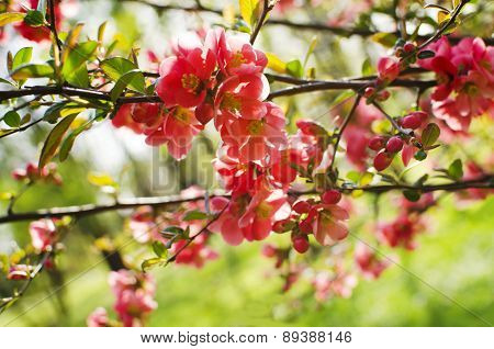 Spring red blooming flowers