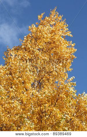 Tree Leaves with Autumn Colors of Yellow-Gold
