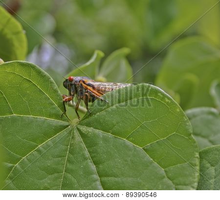 Cicada Amongst The Leaves
