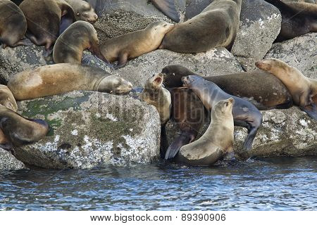 Sea Lions On Rocks.