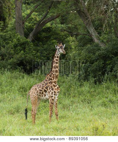 Young giraffe standing, Serengeti, Tanzania, Africa