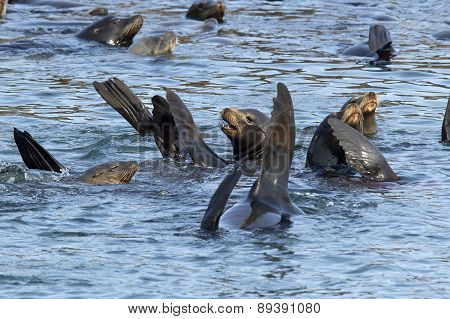 Sea Lions Swimming In The Water.