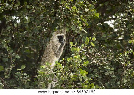 Vervet monkey,  Chlorocebus pygerythrus, eating, Serengeti, Tanzania, Africa