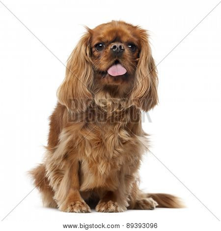 Cavalier King Charles Spaniel (2 years old) in front of a white background