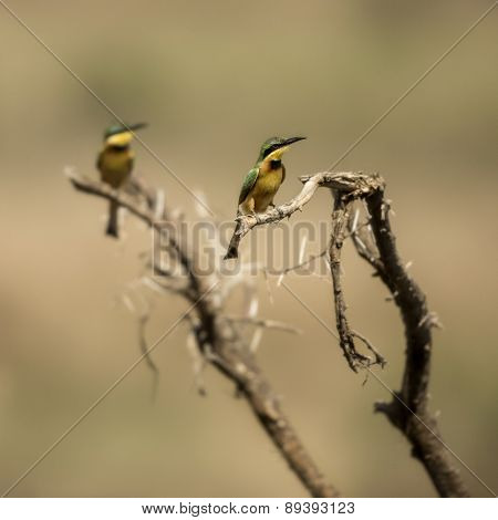 Two Little bee-eaters perched on a branch, Serengeti, Tanzania, Africa
