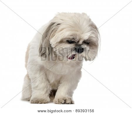 Shih Tzu yawning (5 years old) in front of a white background