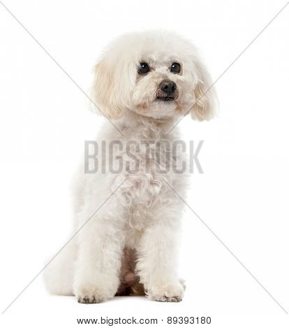 Poodle (11 years old) in front of a white background