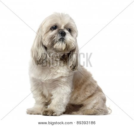 Shih Tzu (5 years old)