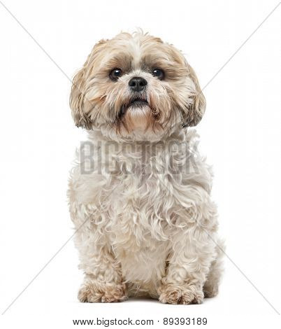 Shih Tzu (7 years old) in front of a white background