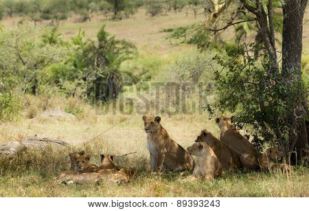 Pride of lions resting