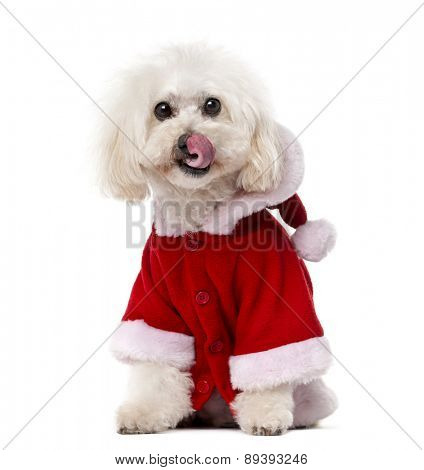 Poodle wearing a Santa coat (11 years old) in front of a white background