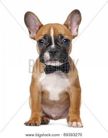 French bulldog puppy wearing a bow tie in front of a white background